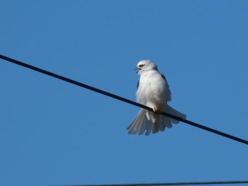 Black Shouldered Kite Roya